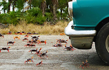 Land crabs smashed by cars in Cuba.
