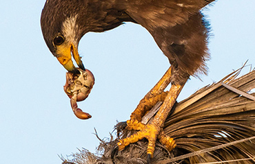Cuban Crab Hawk eats Cuban land crab.