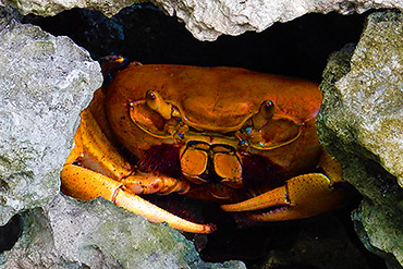 Cuban land crab seeks shelter beneath rocks.